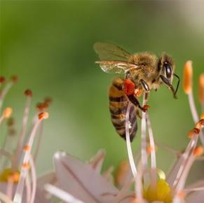 How bee venom creams are made